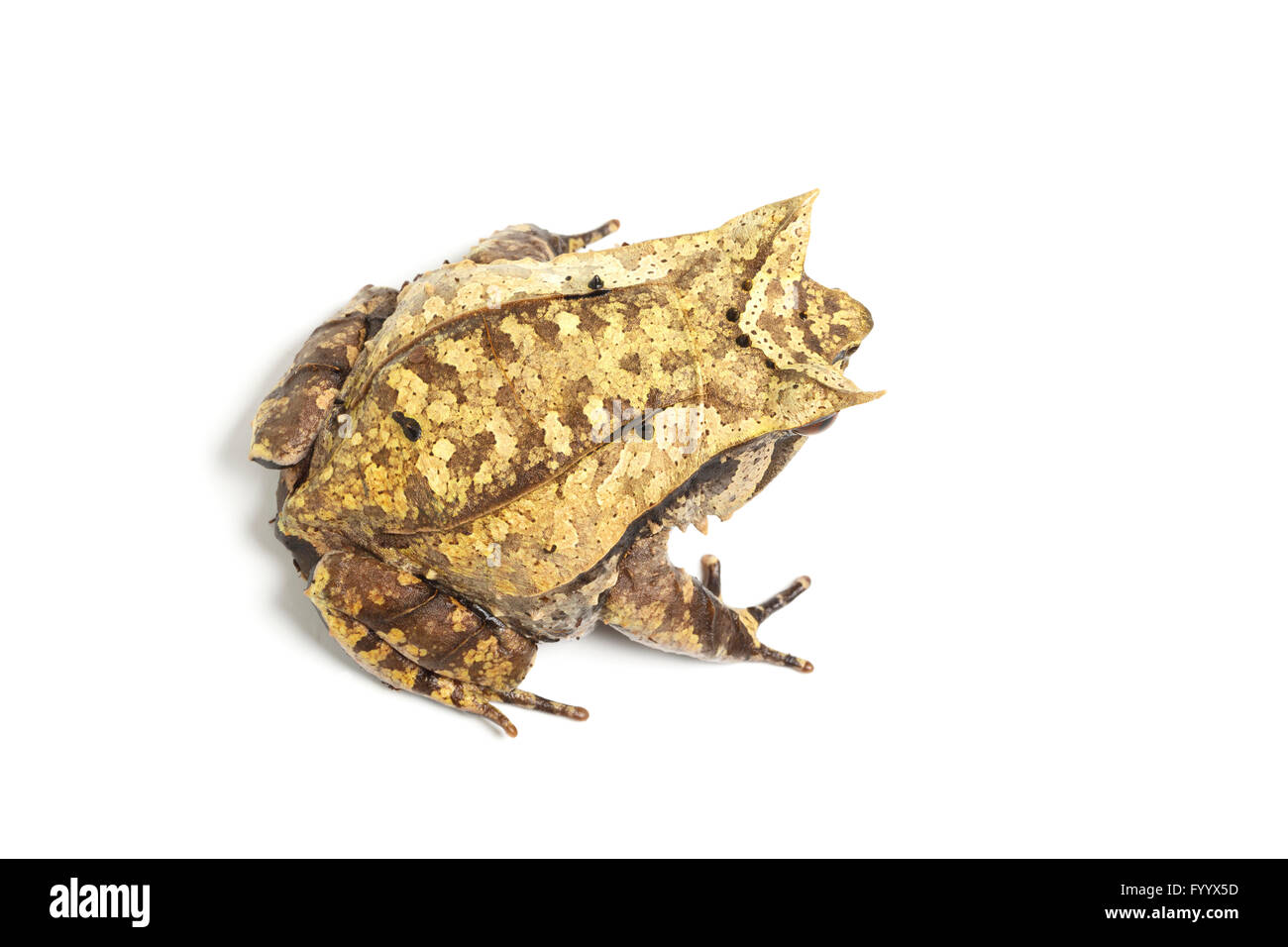 Asian Horned Toad or Frog, Megophrys nasuta, a member of the Megophryidae. Its shape helps to conceal it among dead - Stock Image