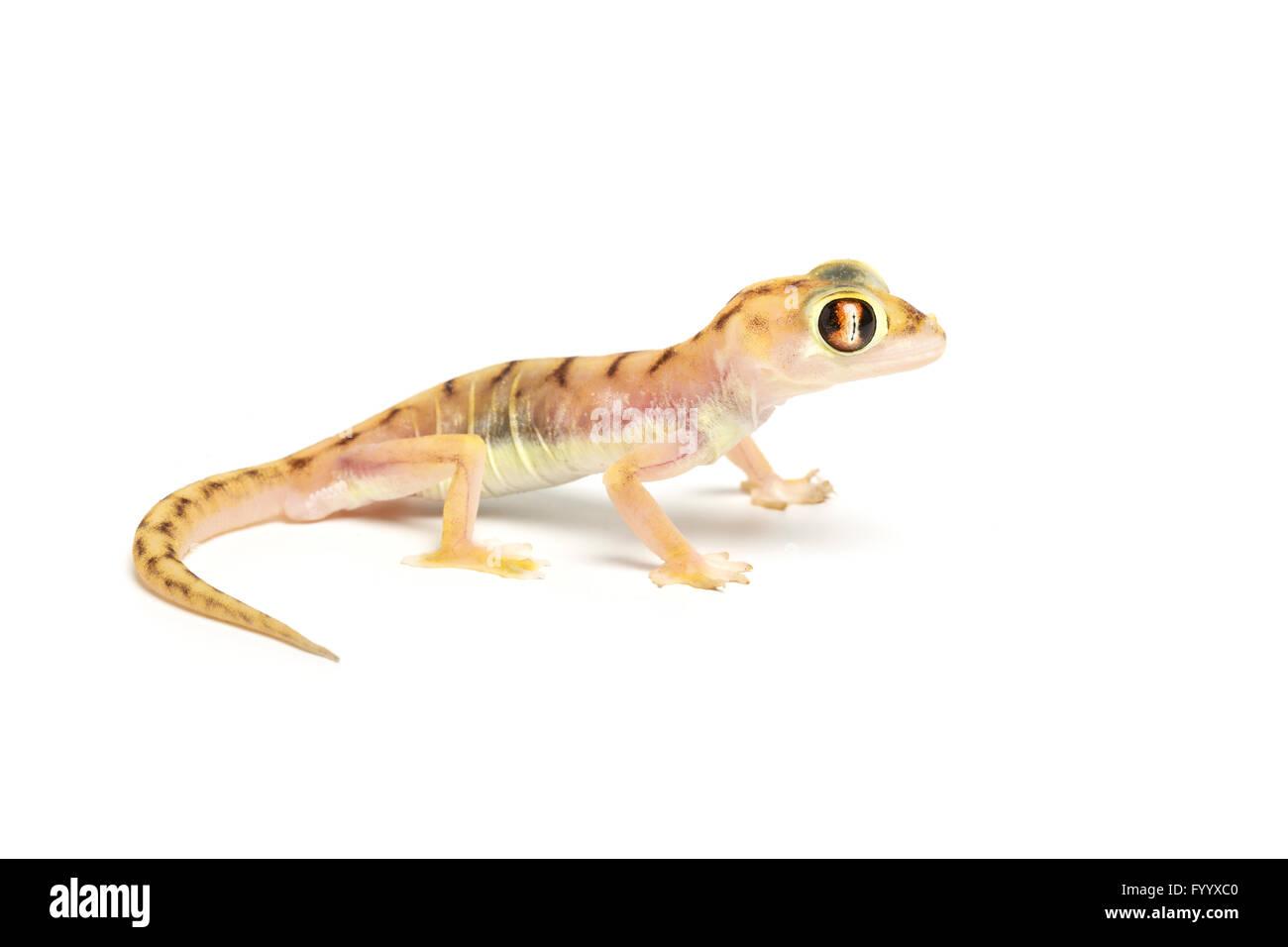 Web-footed Gecko, Pachydactylus rangei.  (Formerly Palmatogecko rangei). Captive (origin Namibia). Member of the - Stock Image