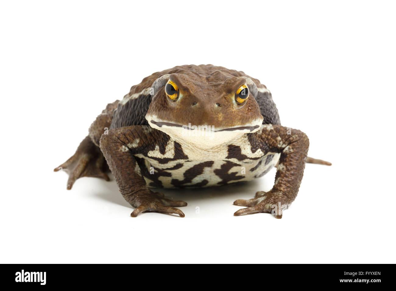 Japanese Common Toad, Bufo japonicus. Captive (origin Japan). Bufonidae - Stock Image