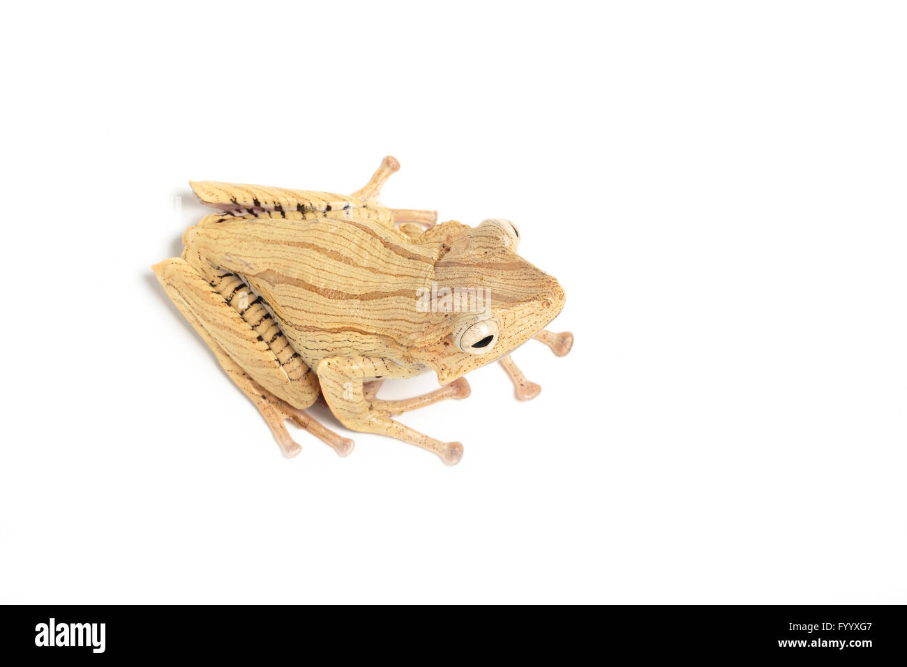 File-eared Tree Frog, Polypedates otophilus, a member of the Rhacophoridae family, SE Asia (captive) - Stock Image