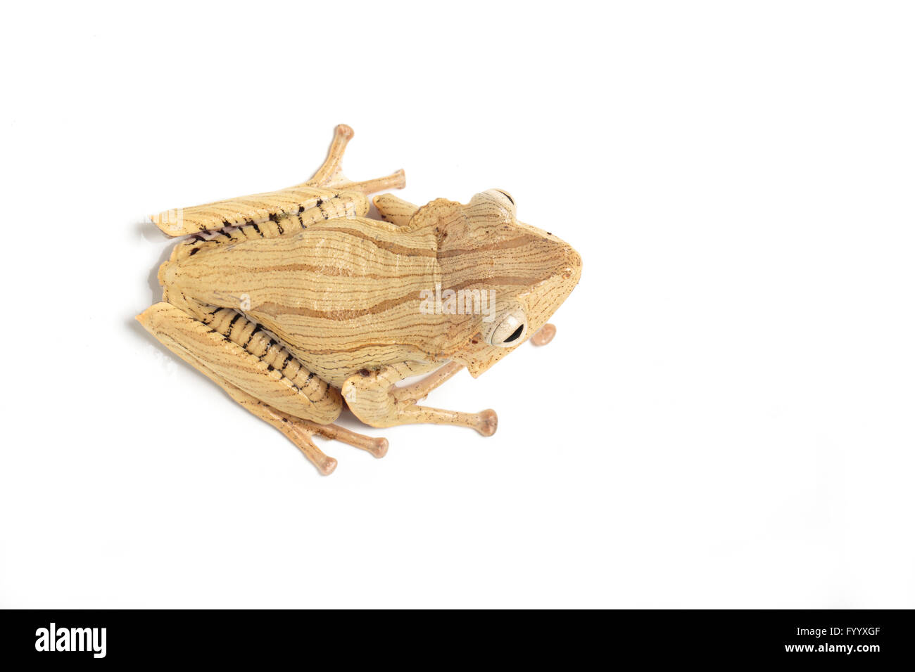 File-eared Tree Frog, Polypedates otophilus, a member of the Rhacophoridae family SE Asia (captive) - Stock Image