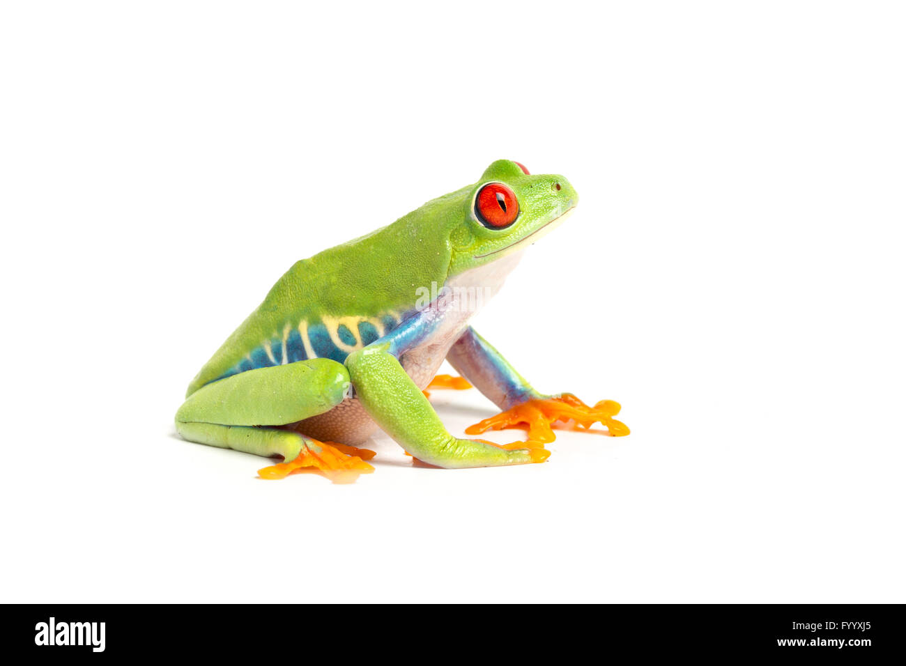 Red-eyed Leaf Frog, Agalychnis callidryas, Central America, a member of the Hylidae - Stock Image