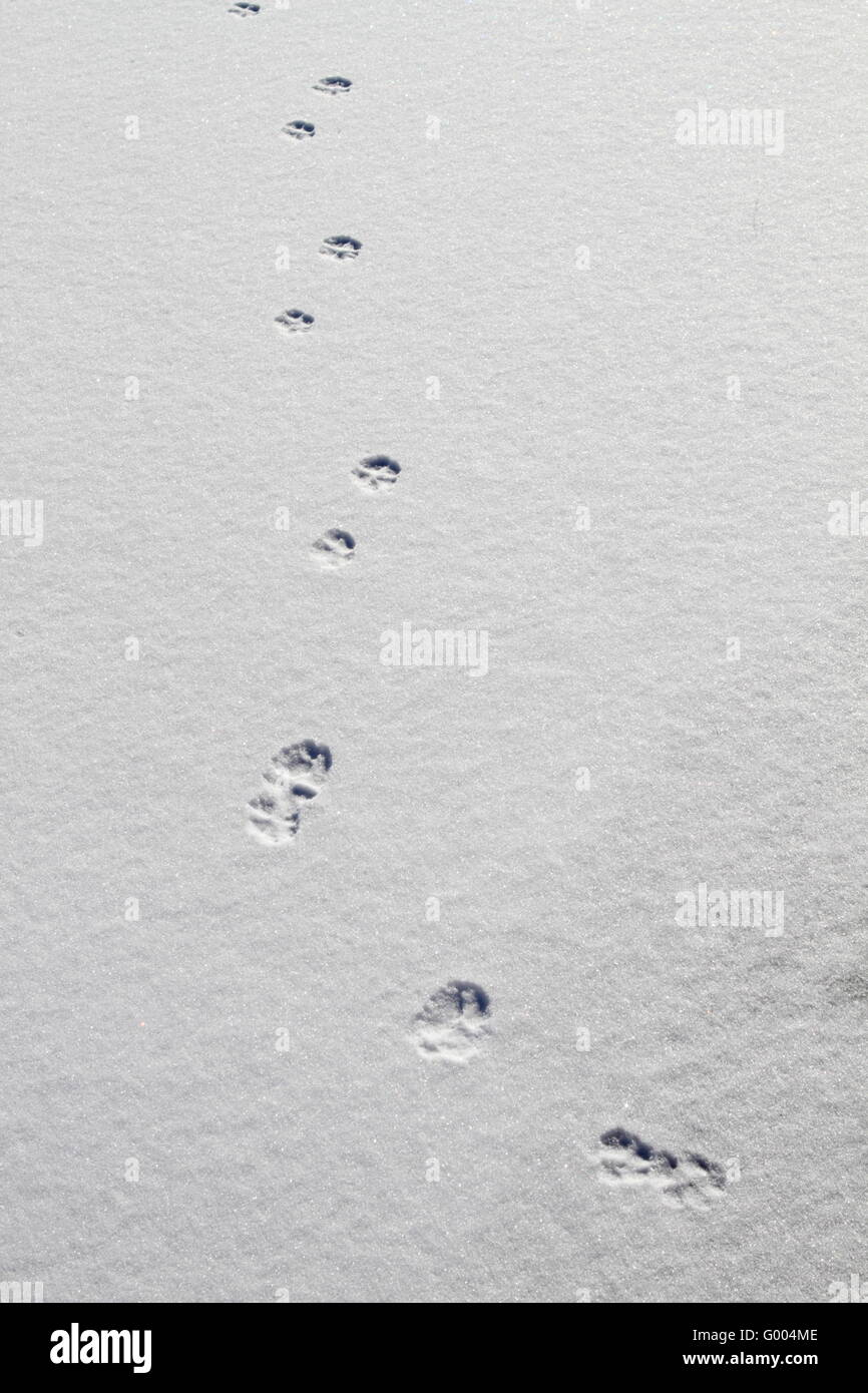Animal tracks on snow background - Stock Image