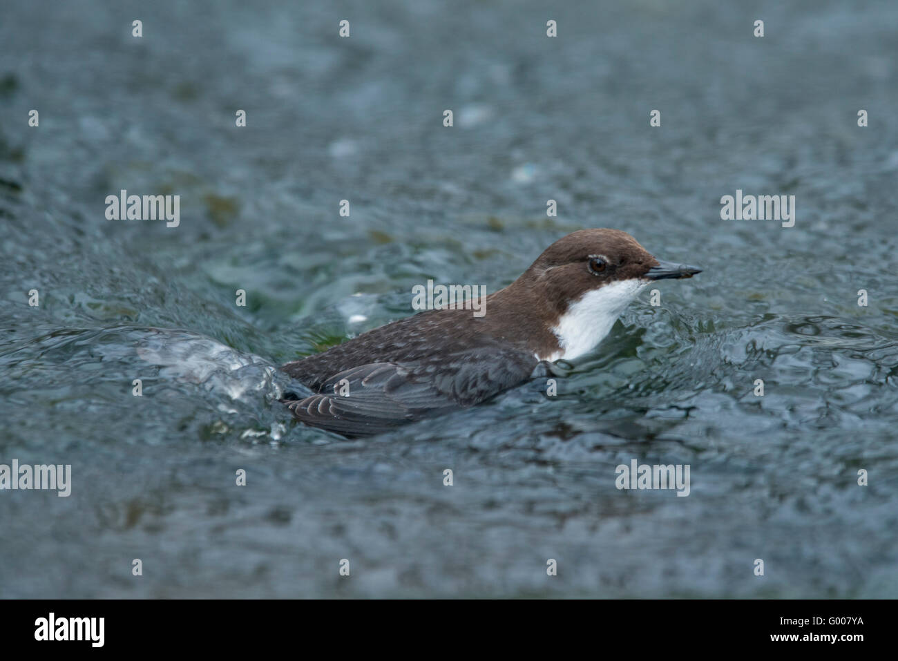White-throated dipper (Cinclus cinclus) hunting for aquatic insects or caddis worms in a swiftly running stream - Stock Image