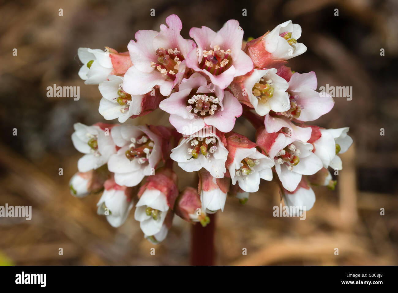 Spring flowers in the flowering head of the deciduous perennial, Bergenia ciliata - Stock Image