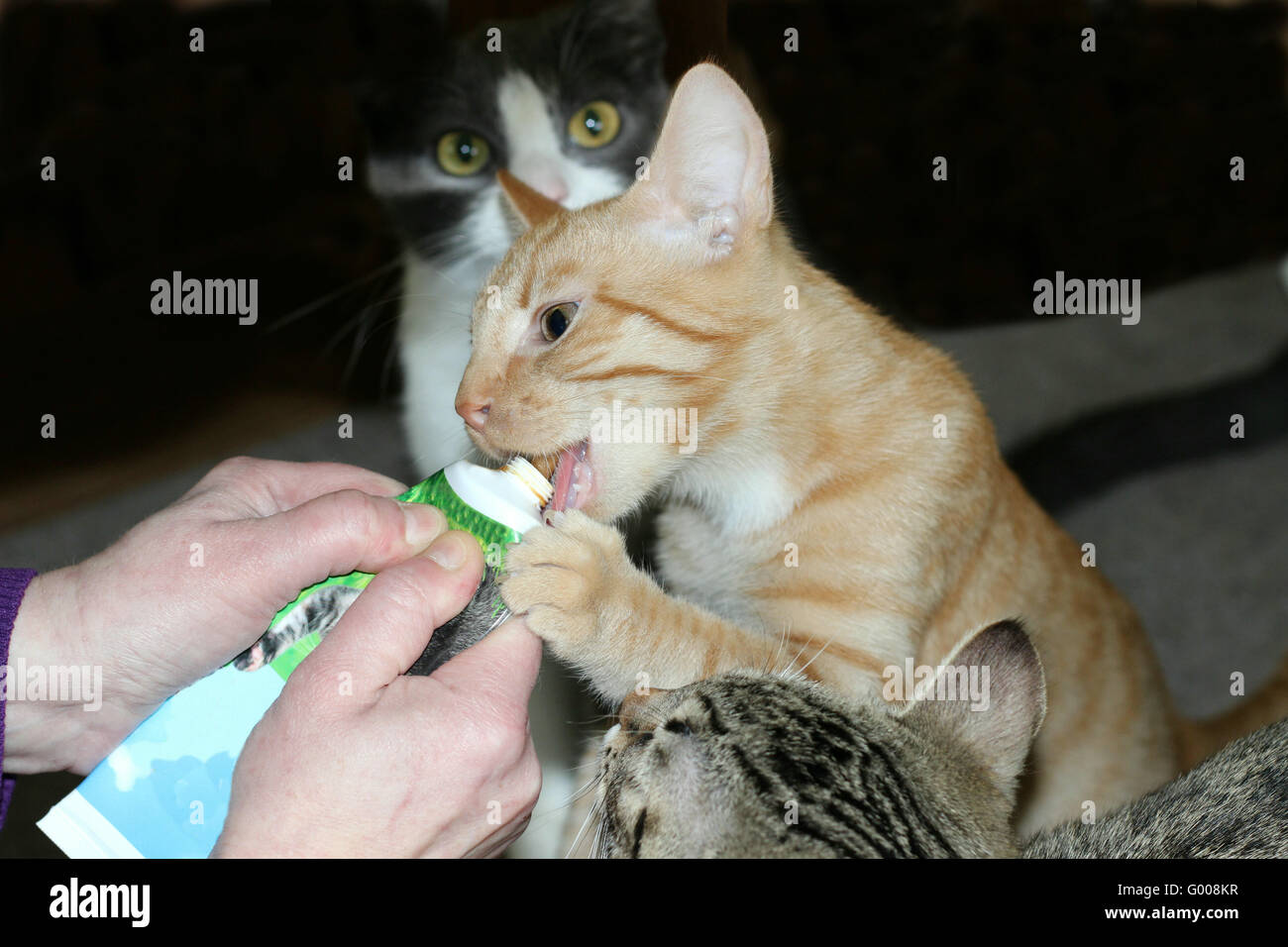 cat licking Stock Photo