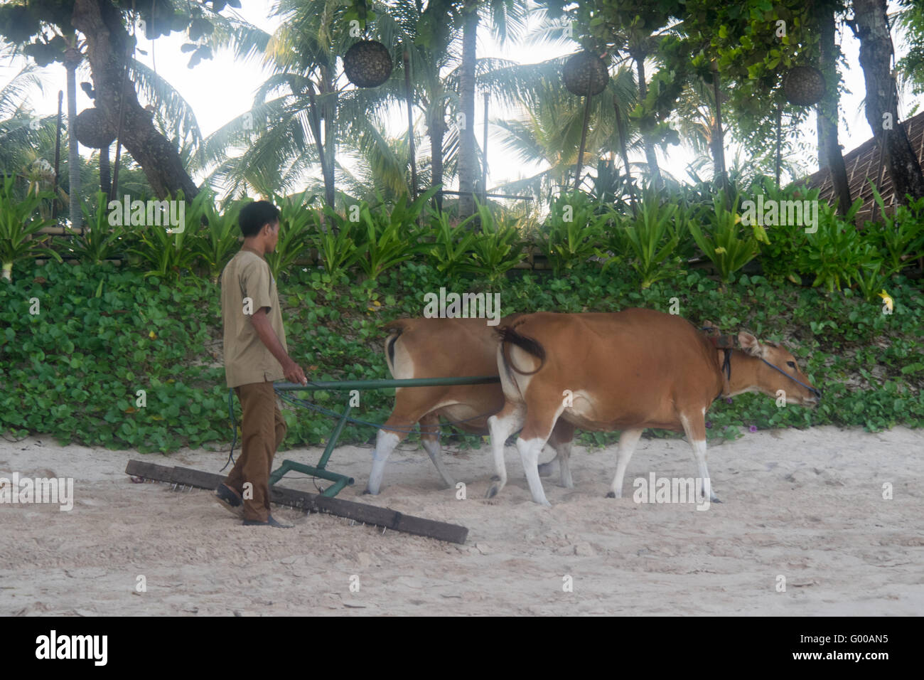 A man and two cows sweeping beach sand. - Stock Image
