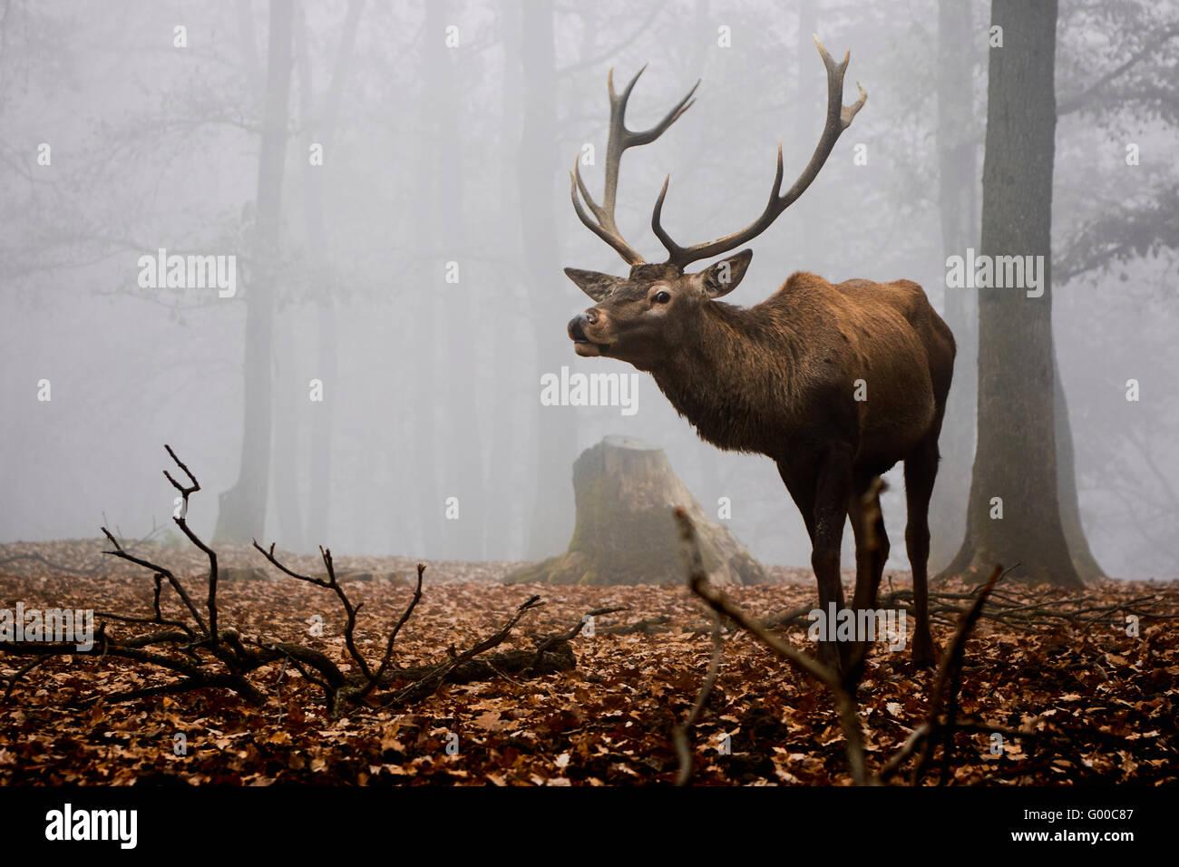 Buck deer stag - Stock Image