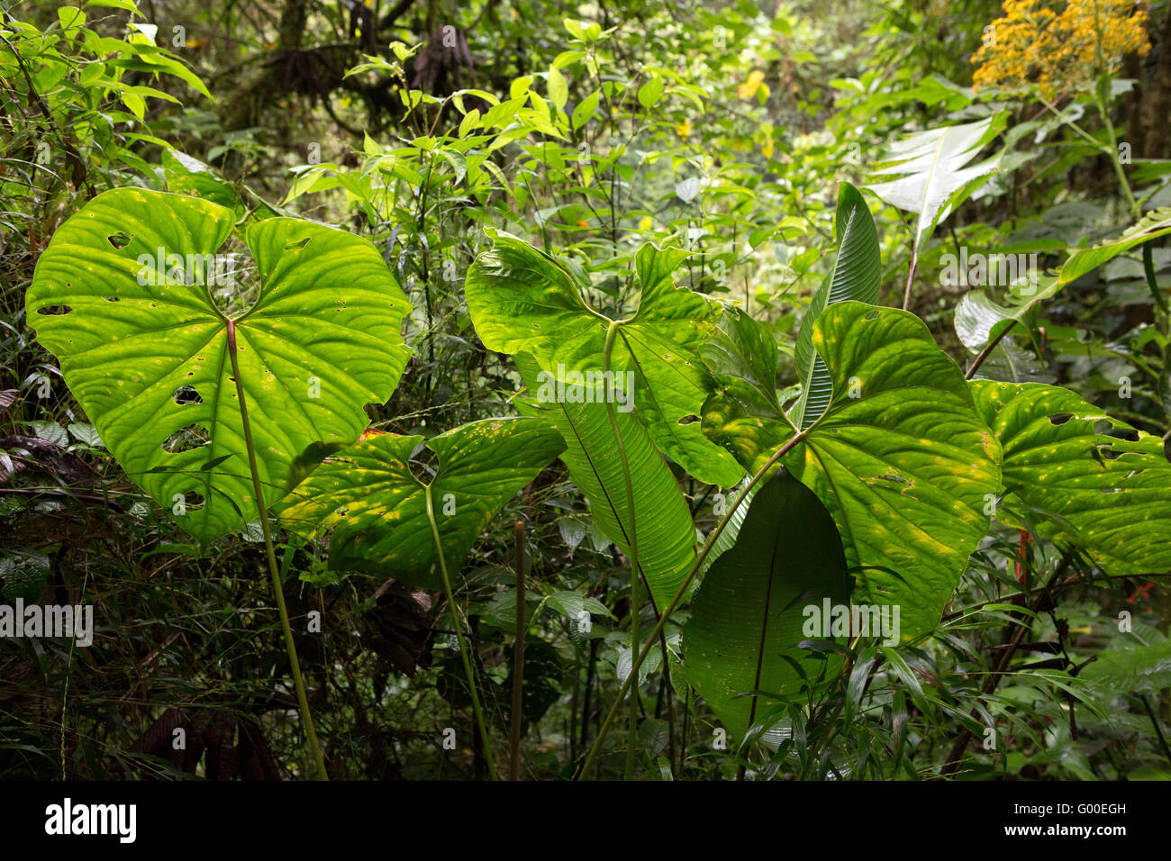 Heart-shaped philodendron leaves in the rainforest close to the Parque Nacional Volcan Poas (Poas Volcano National - Stock Image