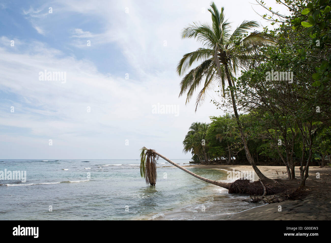 A palm tree leans over the beach and the Caribbean Sea at Manzanillo Beach in Costa Rica. - Stock Image