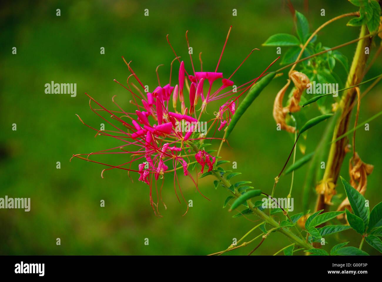 spider flower - Stock Image
