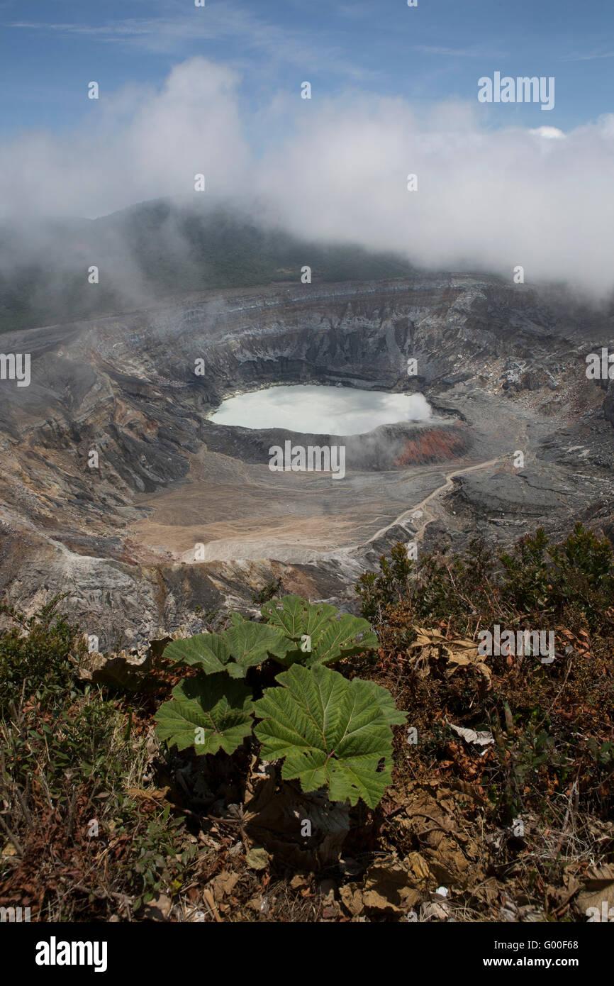 Poor Man's Umbrella by the crater of Poas Volcano in Parque Nacional Volcan Poas (Poas Volcano National Park) - Stock Image