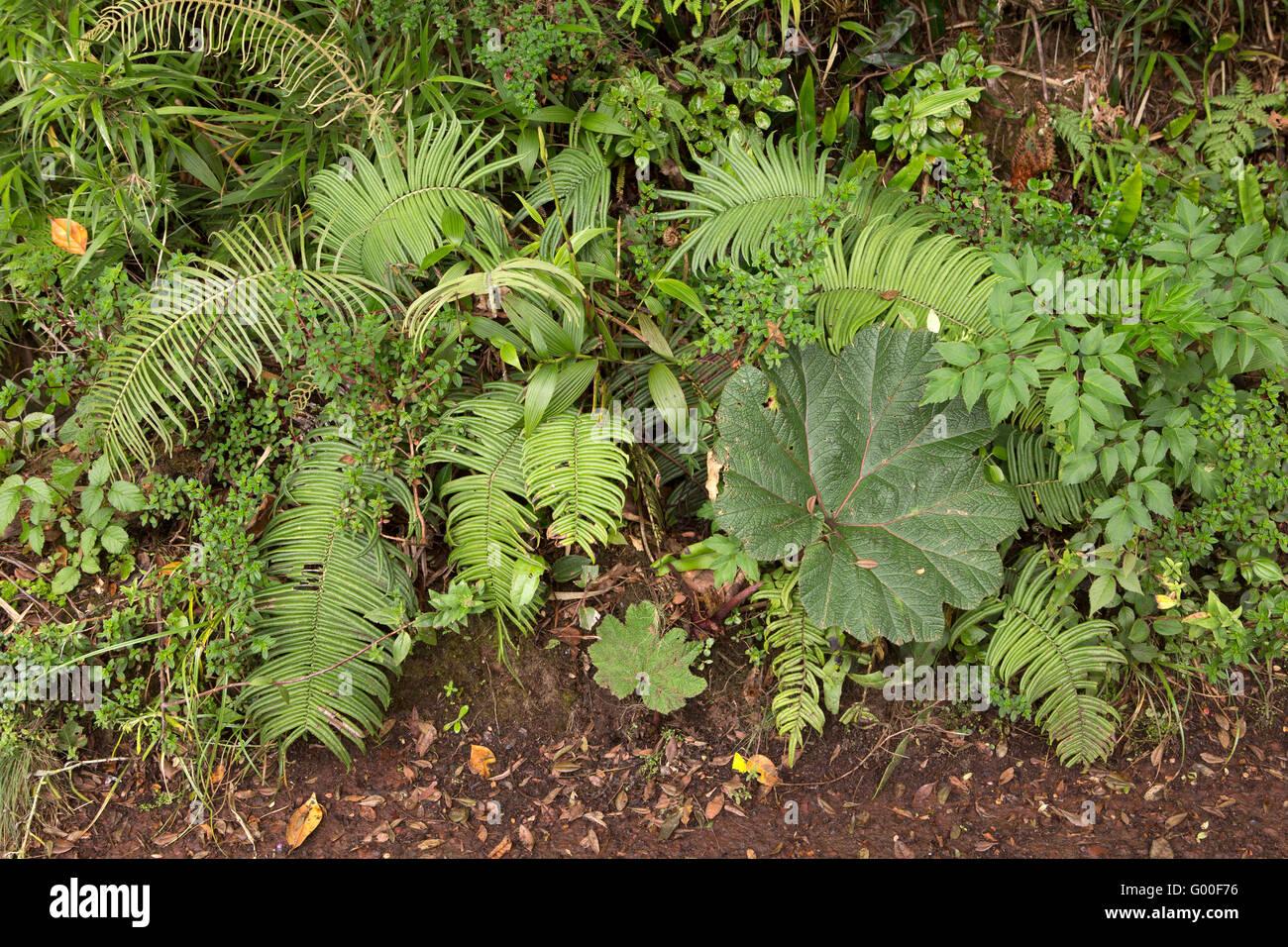 Ferns and a poor man's umbrella plant in the Parque Nacional Volcan Poas (Poas Volcano National Park) in Costa - Stock Image