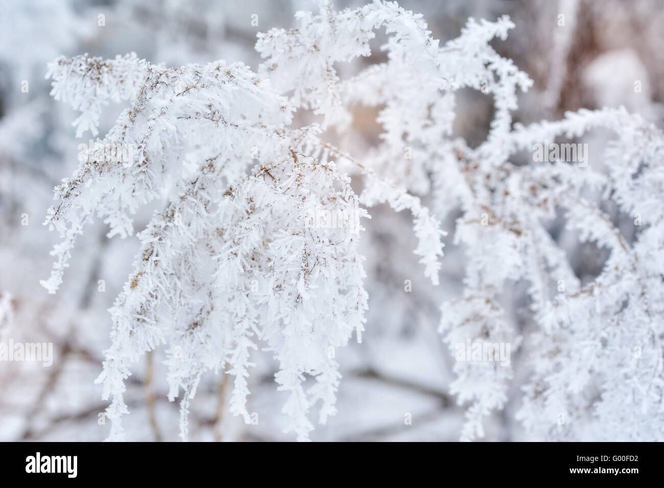 Winter background, close up of frosted pine branch on a snowing - Stock Image