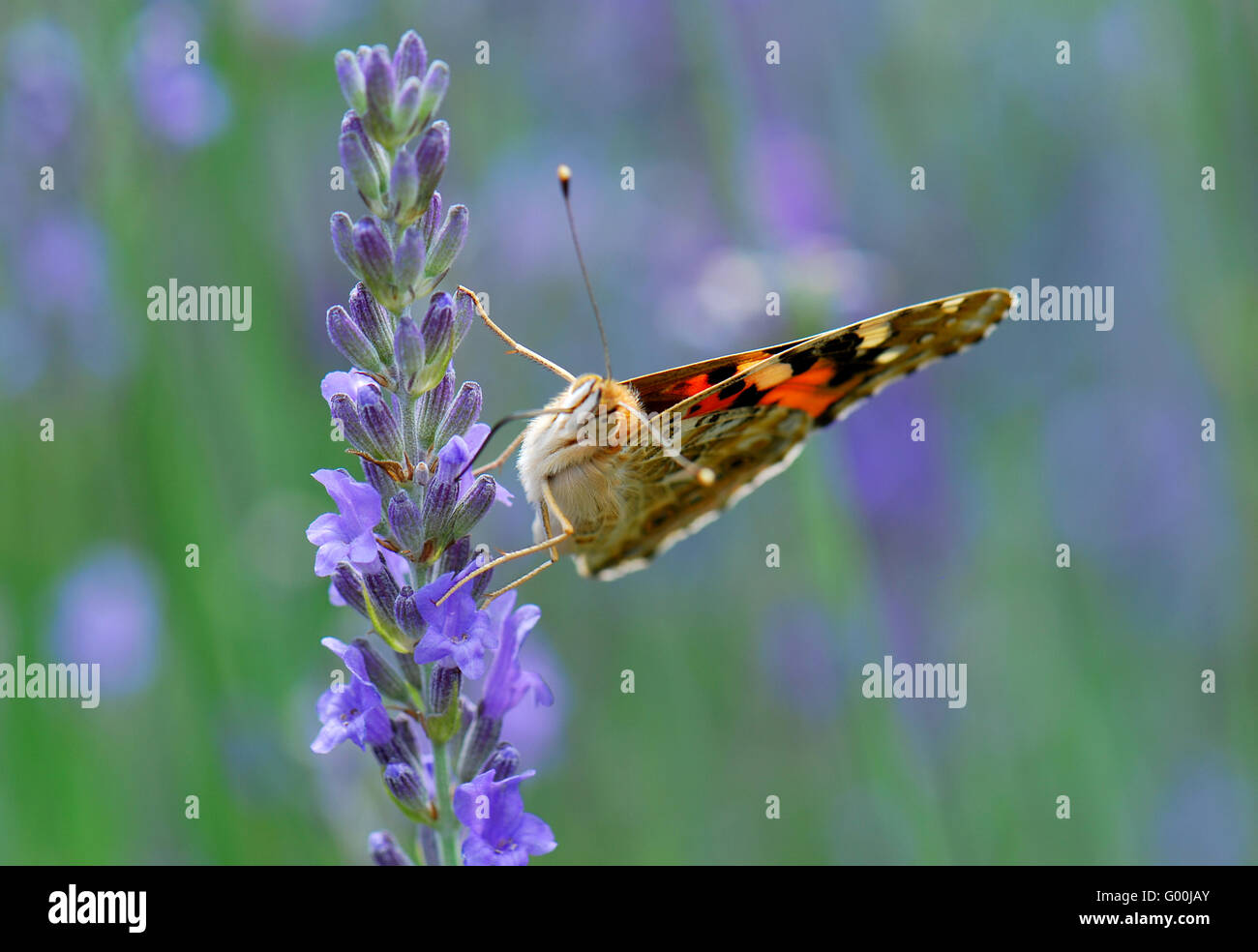 Schmetterling auf Lavendel - Stock Image