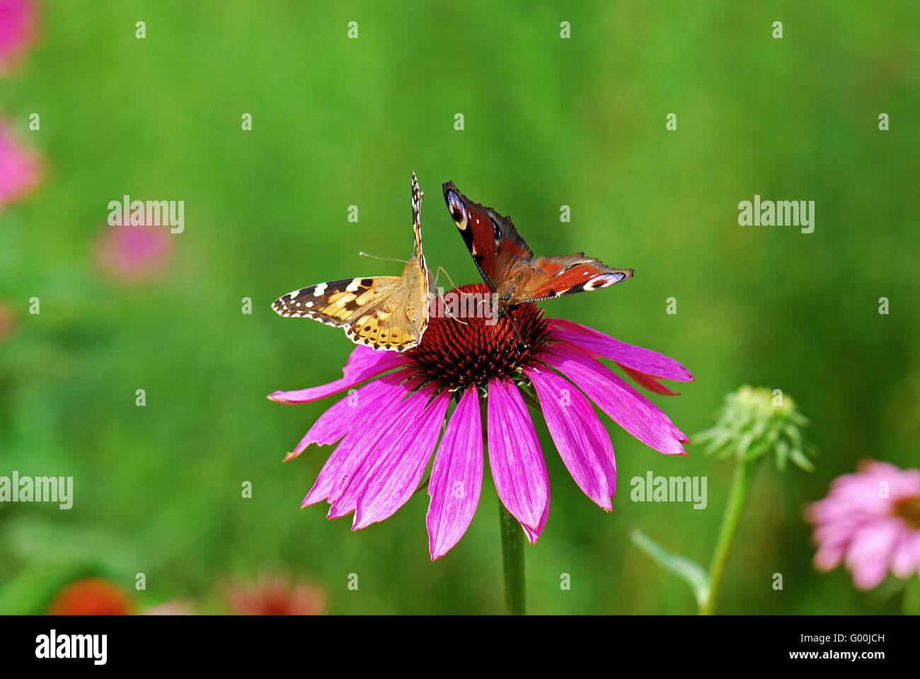 Zwei Schmetterlinge - Stock Image