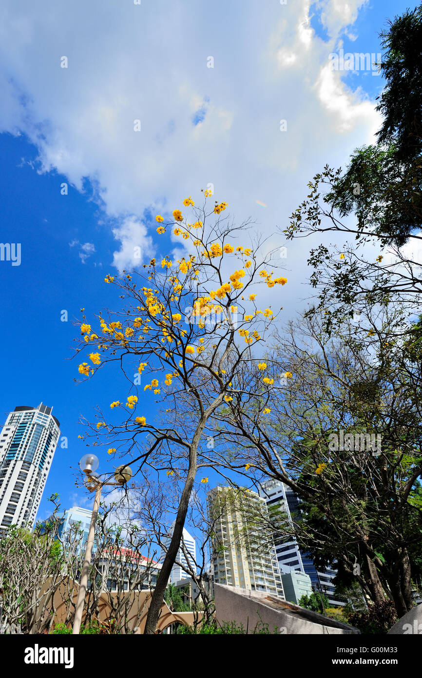 Yellow blossom tree in Cathedral Square, Brisbane CBD - Stock Image
