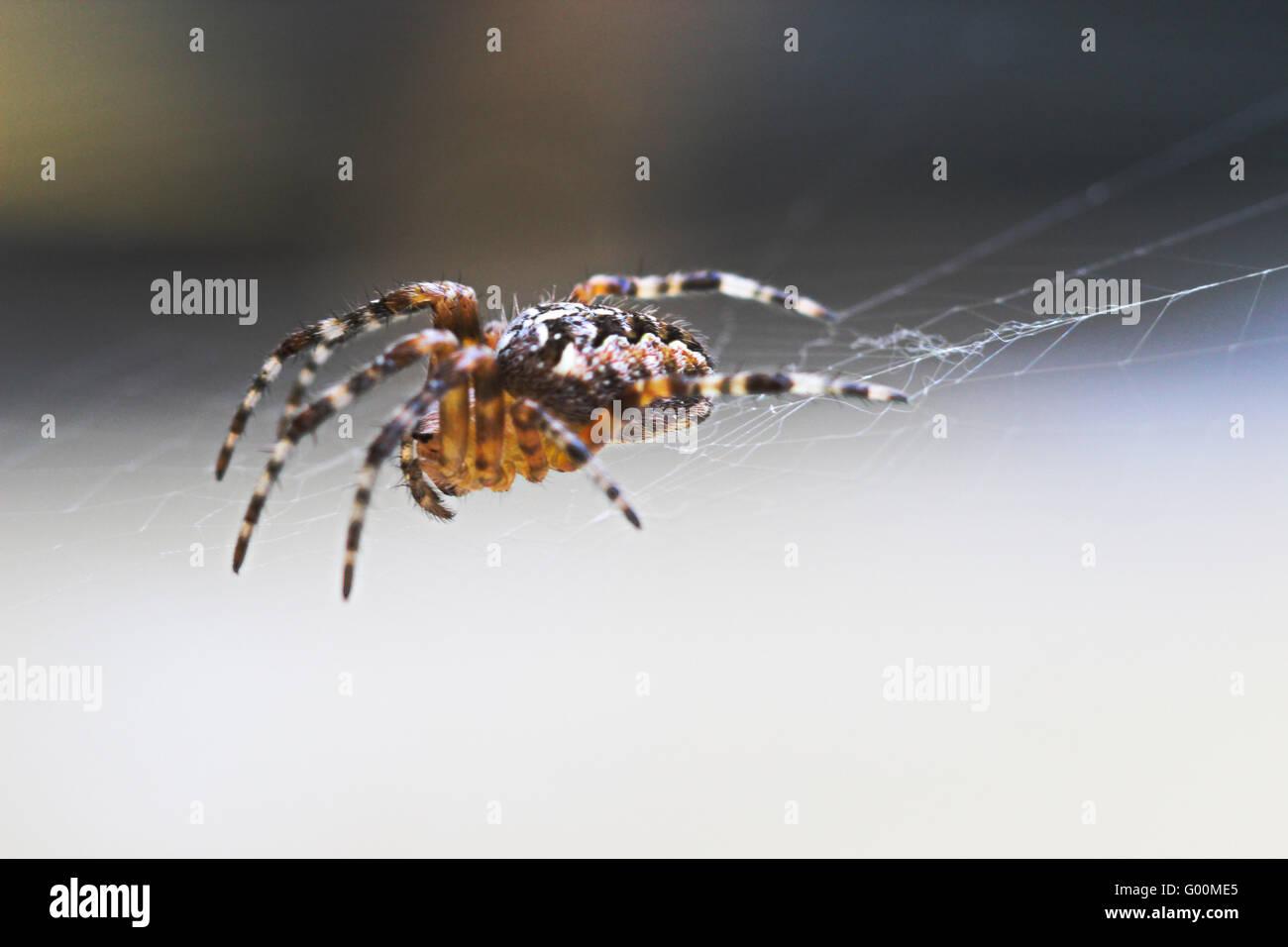 Macro - Spider - Stock Image
