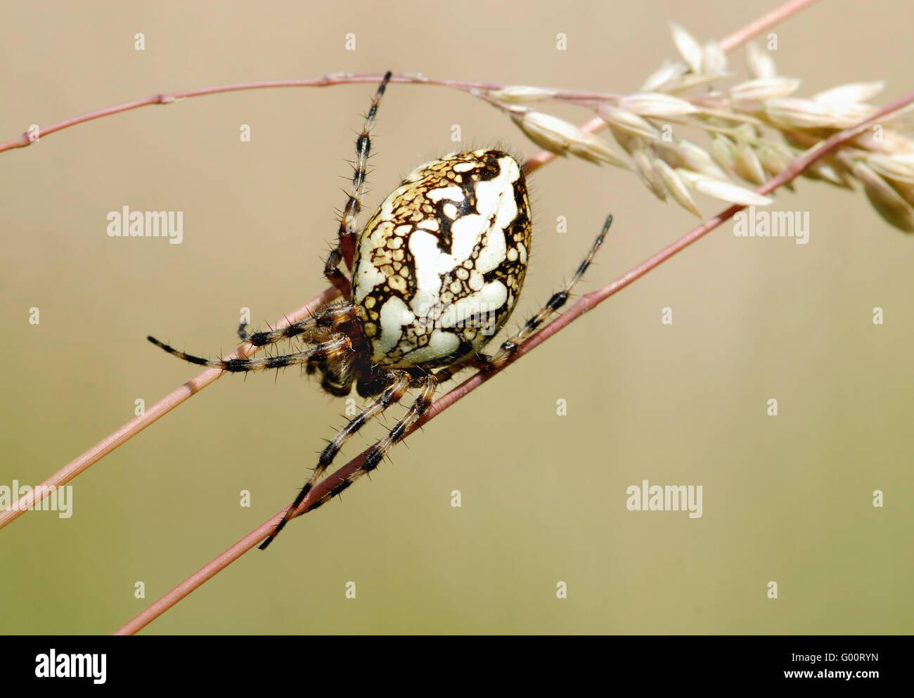 Aculepeira ceropegia - Stock Image