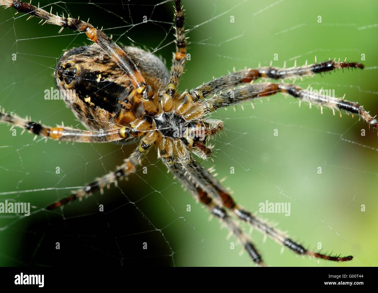 Araneus diadematus - Stock Image
