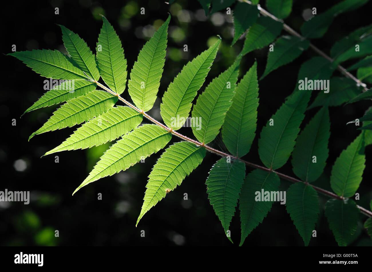 Leaves of Rhus flower Stock Photo