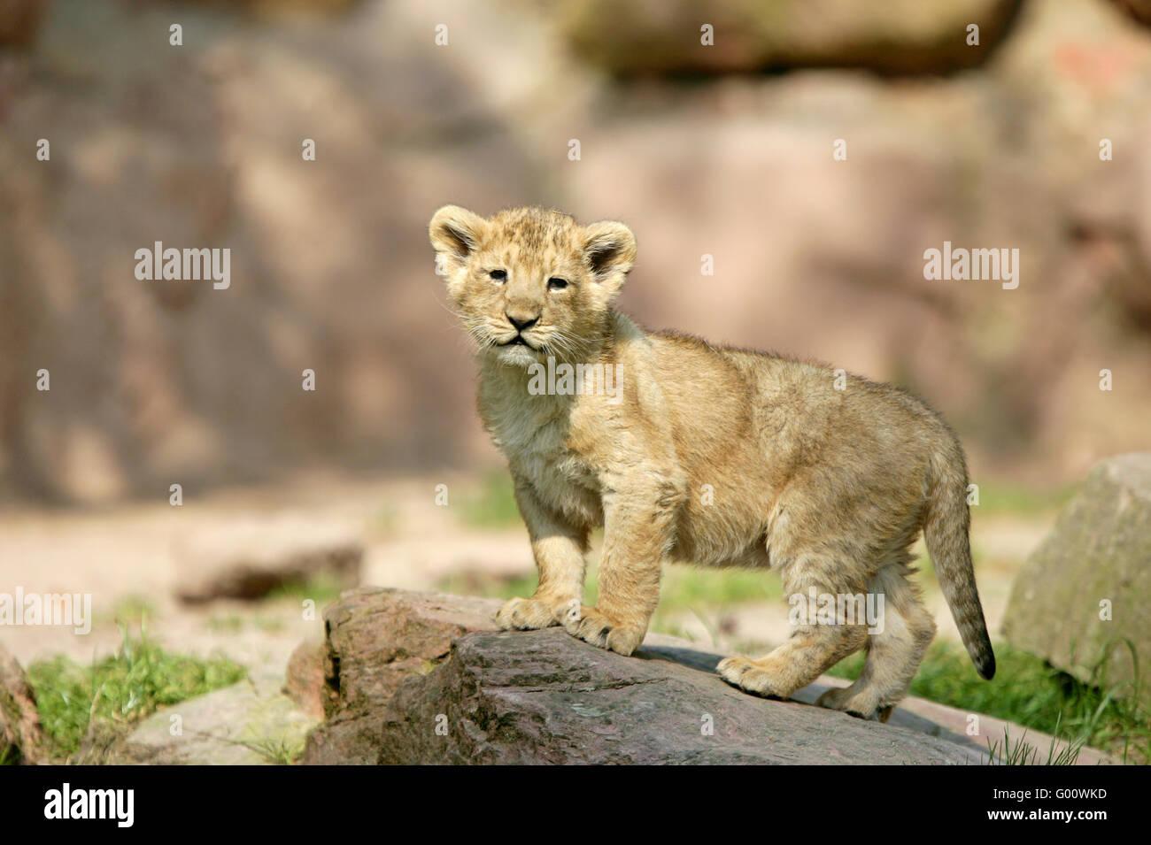 asiatic Lion - Stock Image