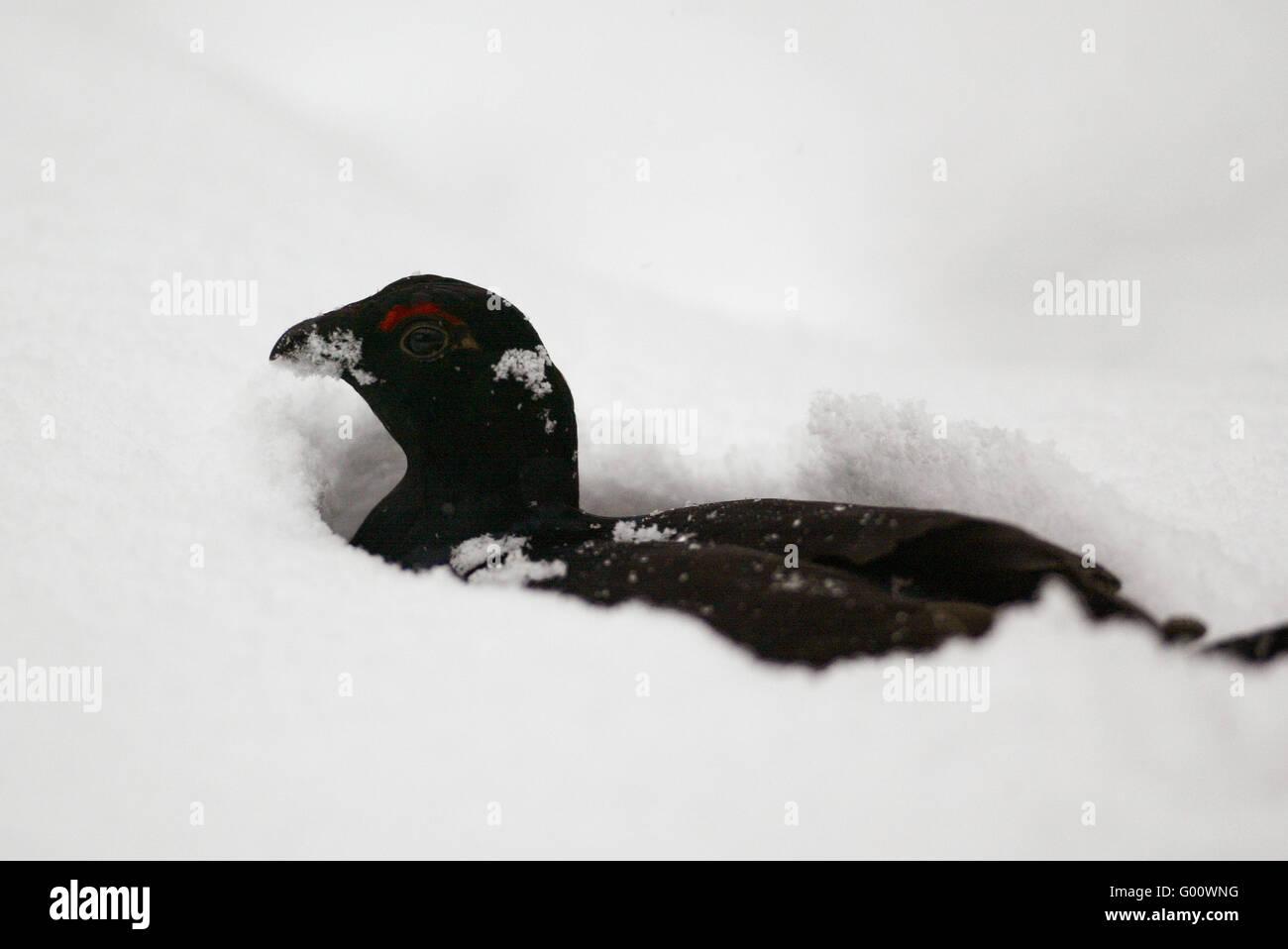 Black Grouse - Stock Image