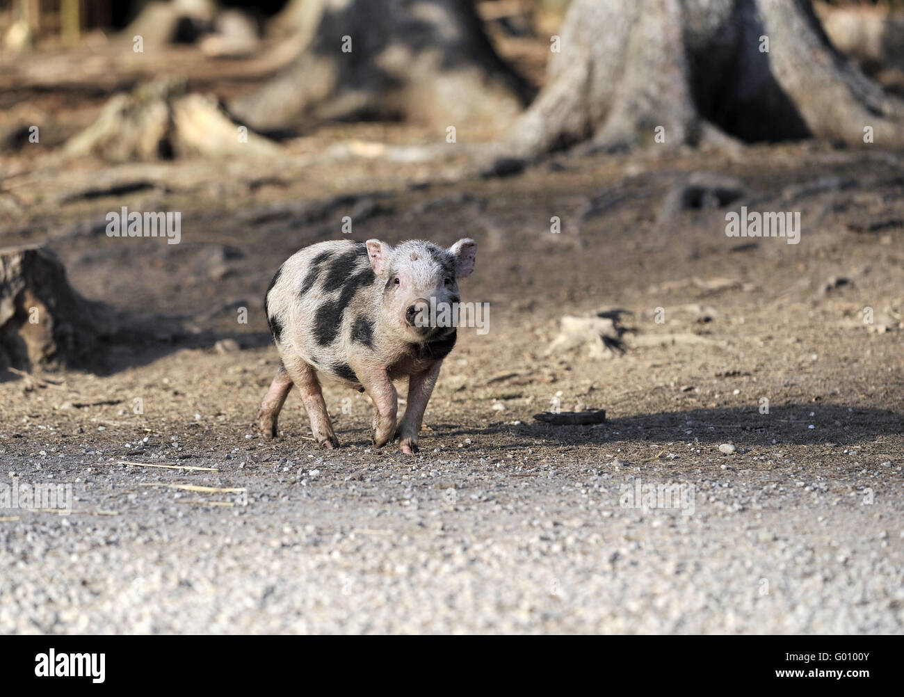 Piglet Stock Photo