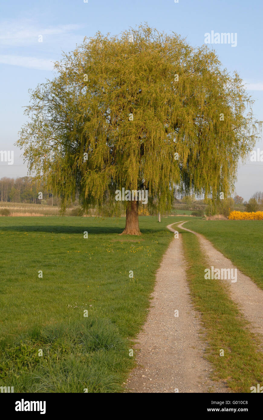 Weeping Willow - Stock Image