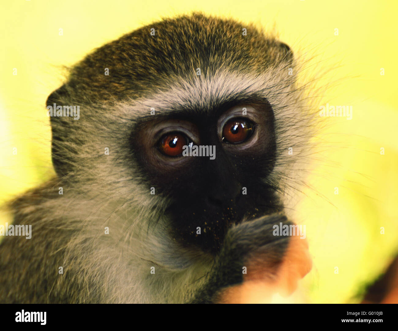 Dreaming Monkey - Stock Image