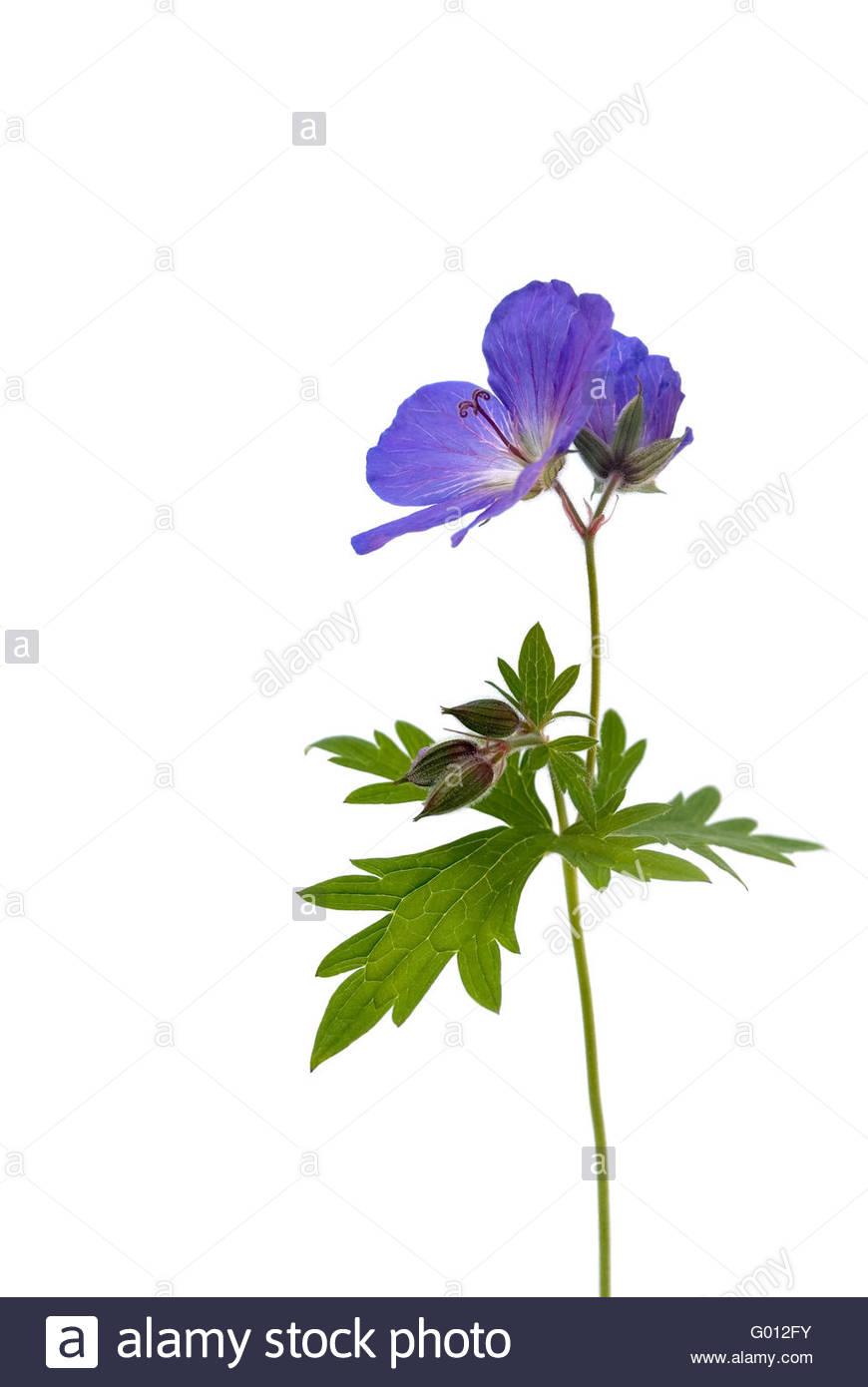 geranium - Stock Image