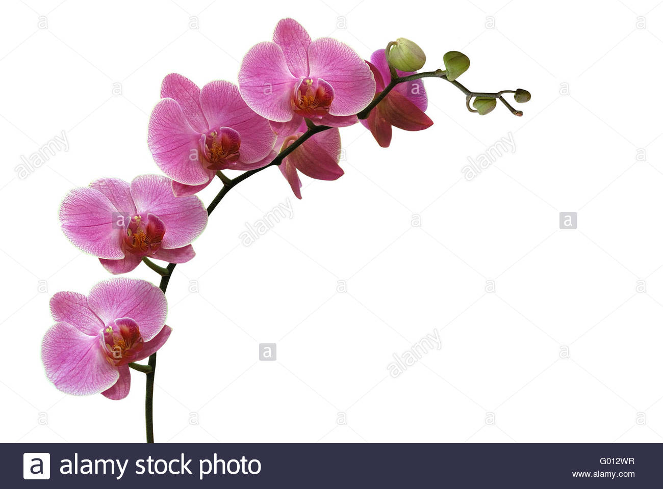 orchid isolated on white - Stock Image