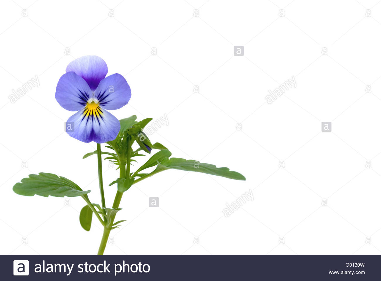 pansies isolated on white - Stock Image