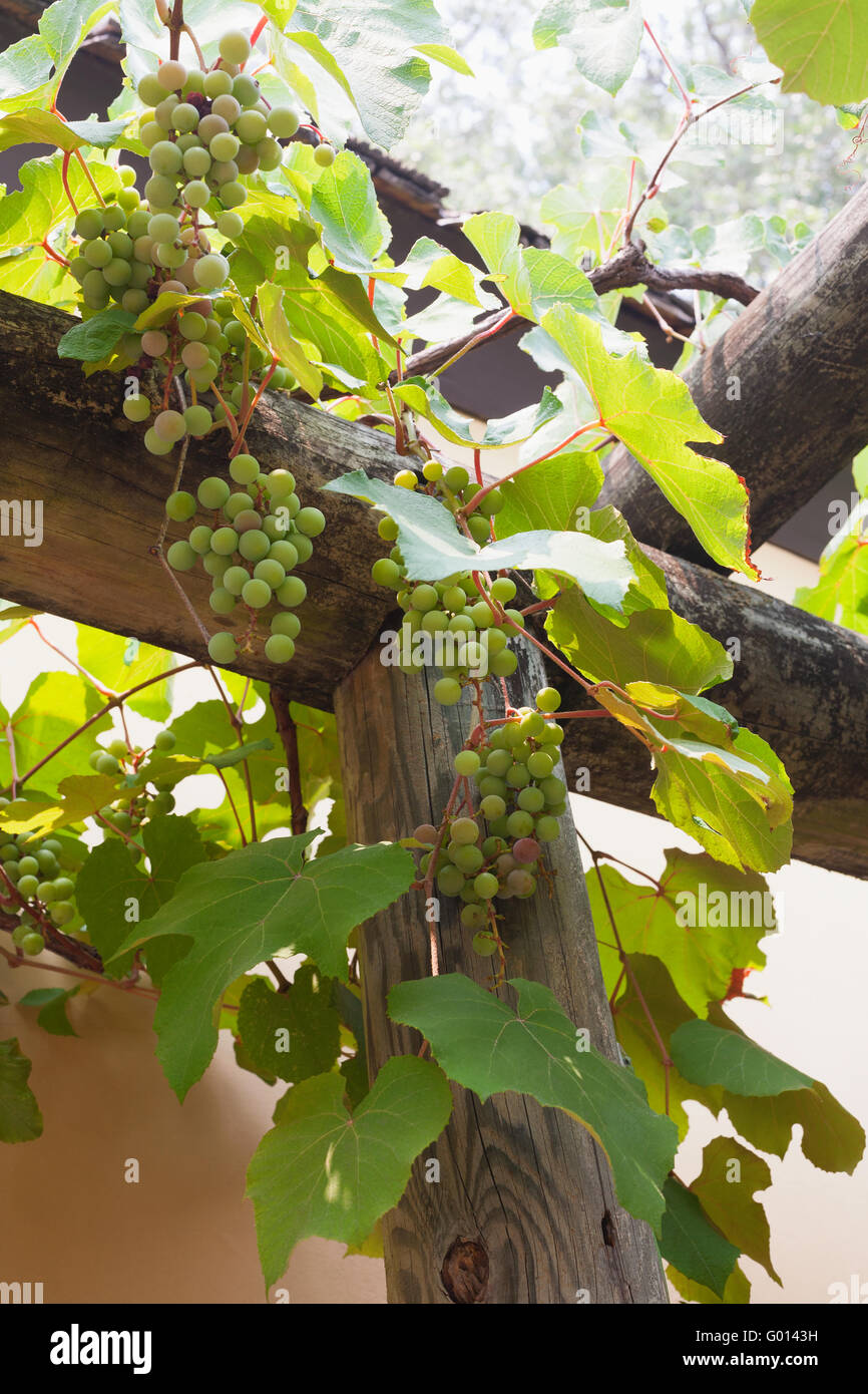 Grapes Augustine: photos and description of the variety, advantages and disadvantages, planting and care, reviews 60