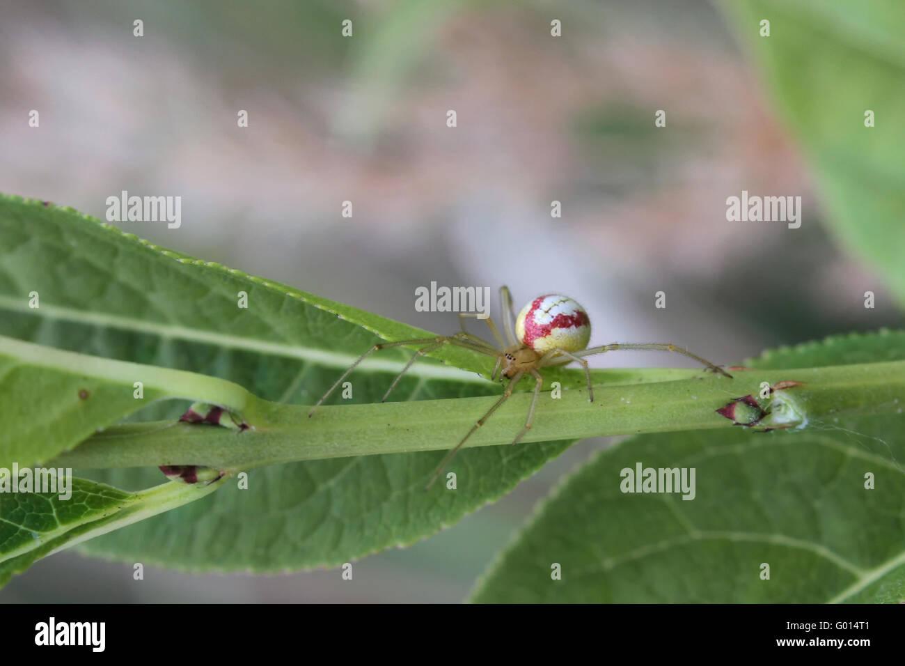 Enoplognatha lineata, a cobweb spider common in Europe. - Stock Image