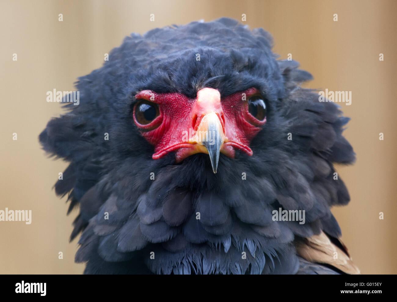 Snake eagles or Tightrope-walker - Stock Image