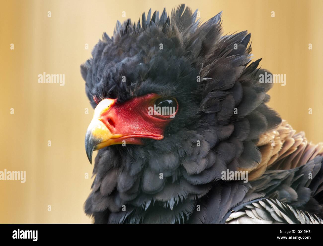 Snake Eagles - Tightrope-walker - Stock Image