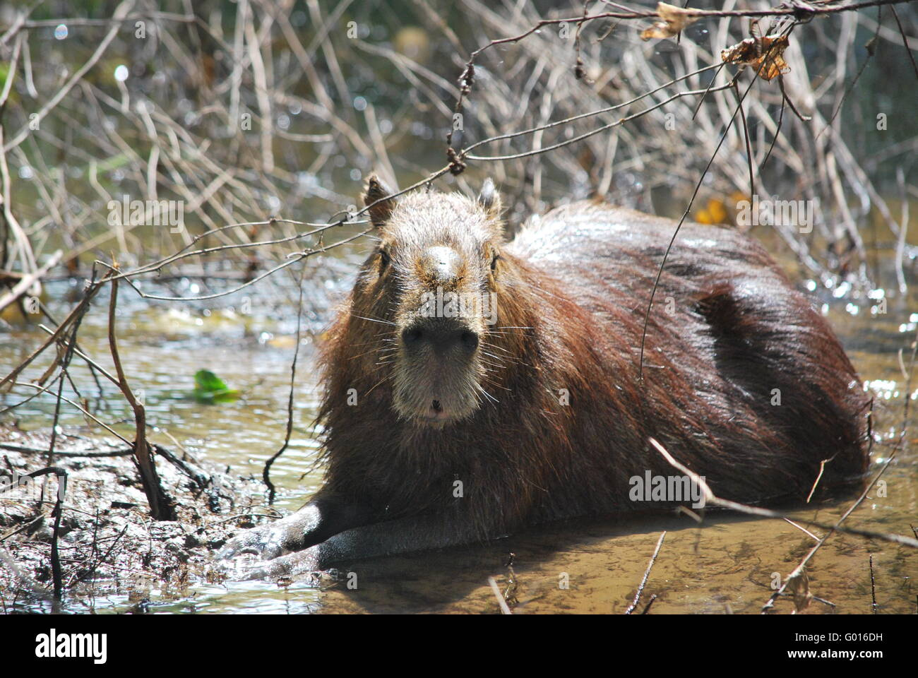 Capybara on a Bolivian Pantanal tour - Stock Image