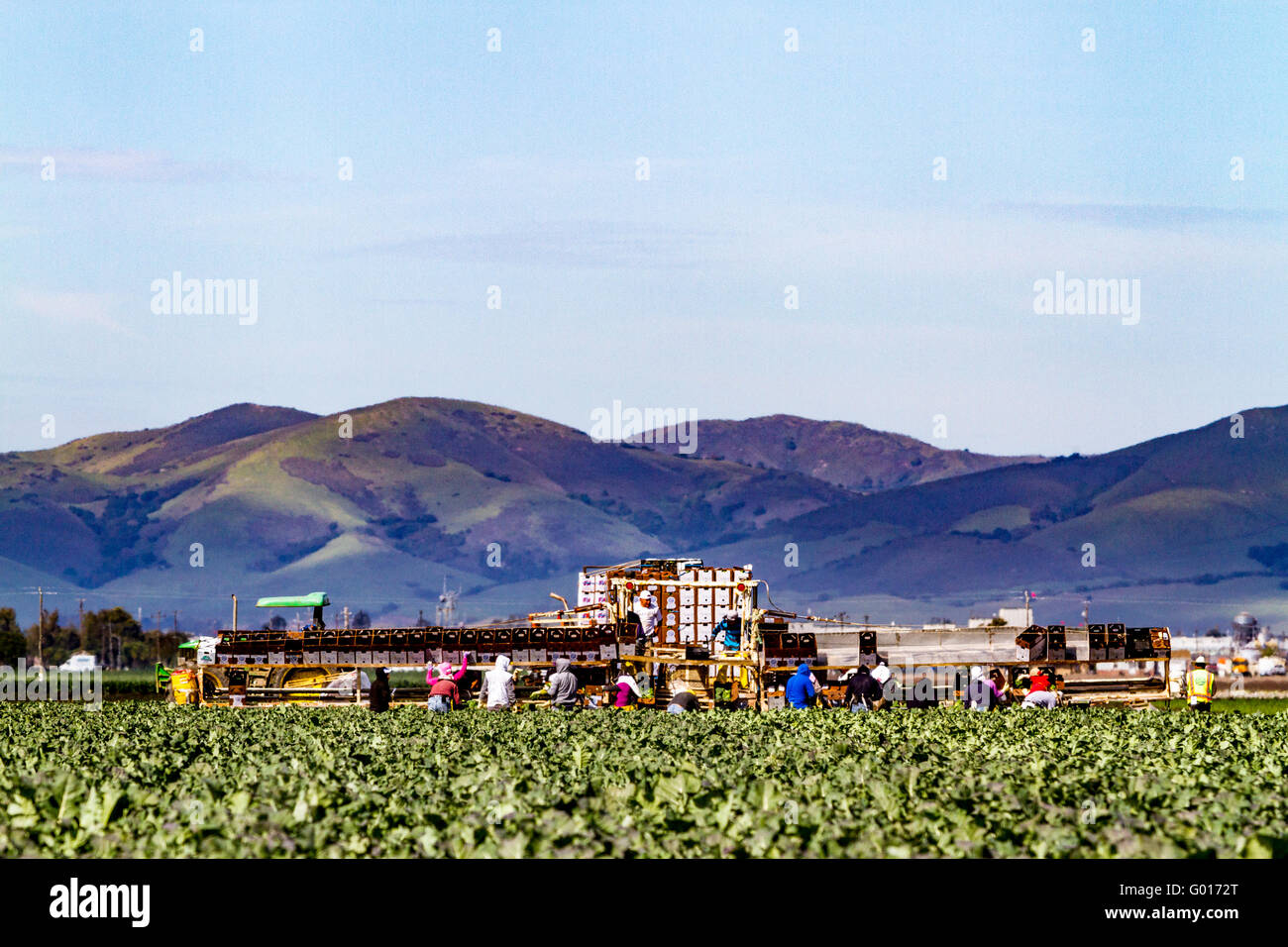 Farm workers using a mechanized packing system in the fields in the Salinas Valley of California USA - Stock Image