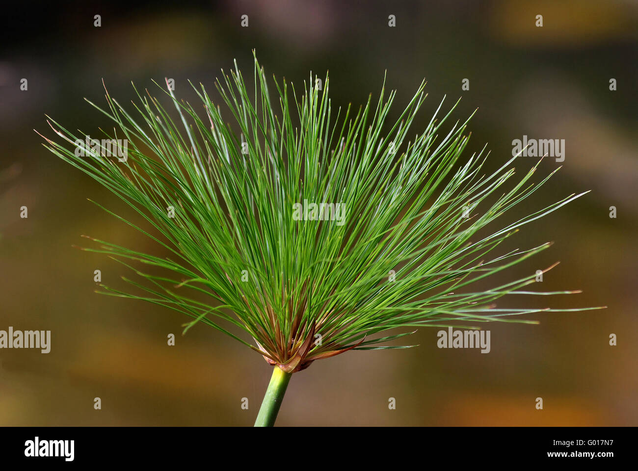 paper reed - Stock Image