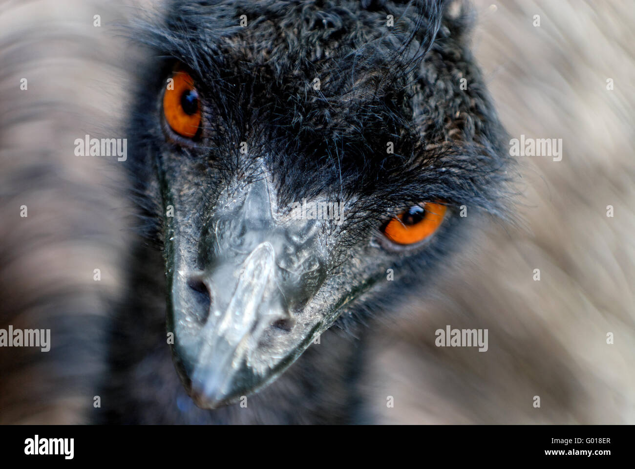 Head of moving Australian Emu (Dromaius novaehollandiae) looking with orange eyes - Stock Image