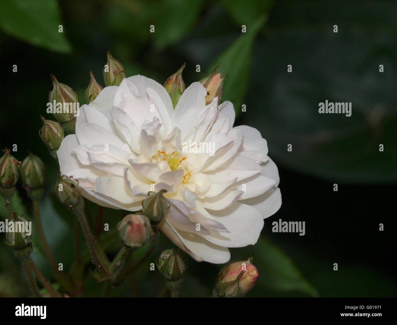 Englische Rose Snow Goose - Stock Image