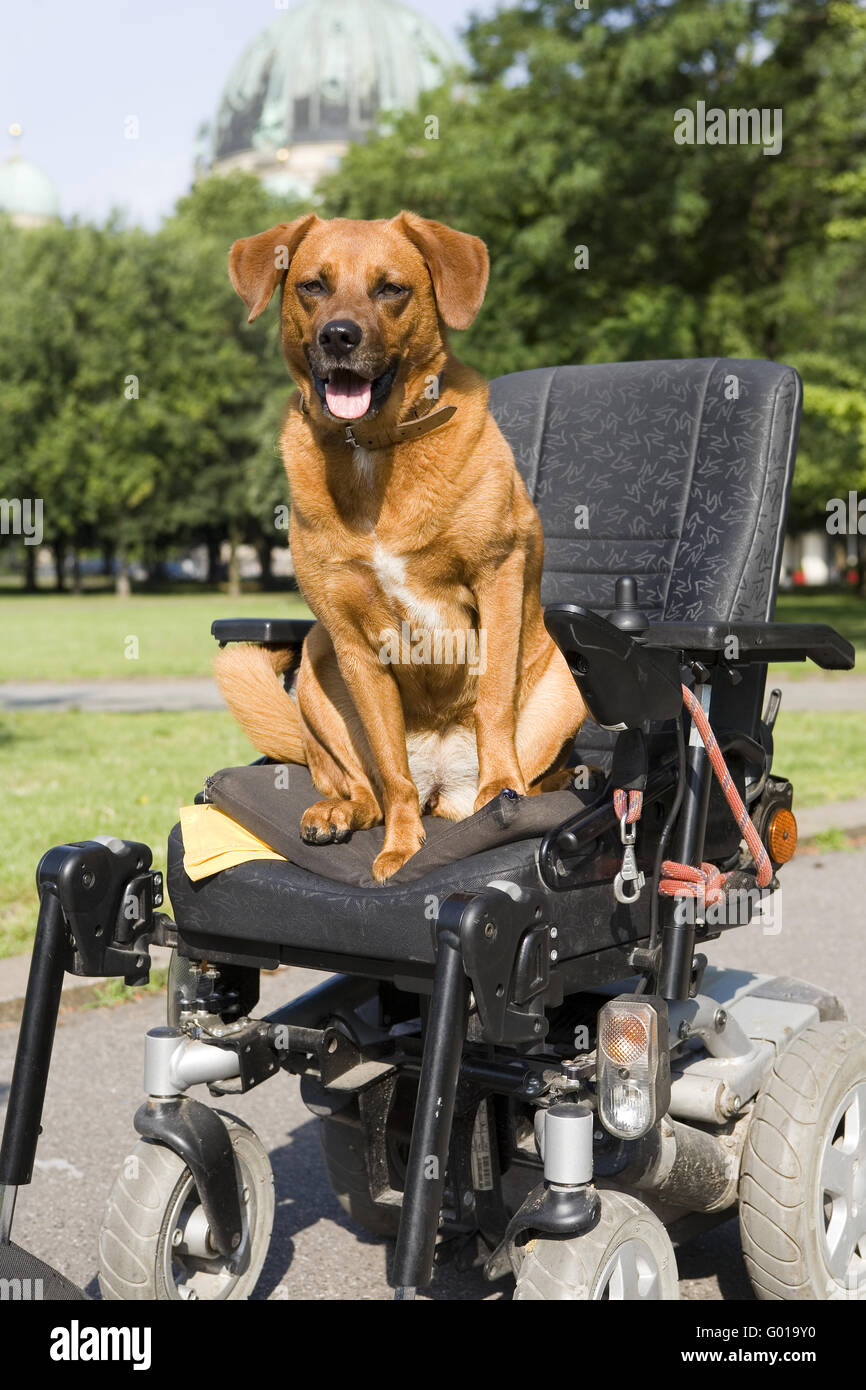Disability assistance dog - Stock Image