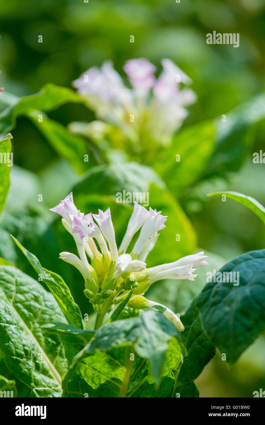 Tobacco flower in outside of Dhaka, manikganj, Bangladesh. - Stock Image