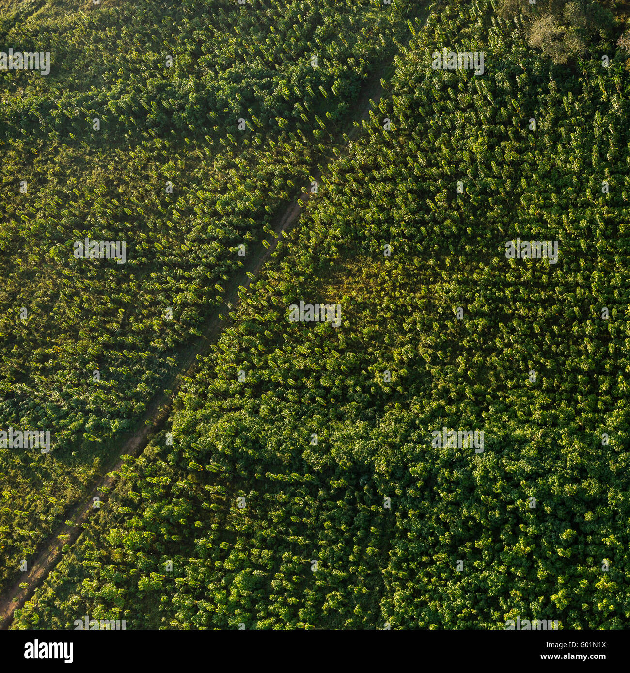 OSA PENINSULA, COSTA RICA - Aerial of two year old teak trees on sustainable teak plantation at Puerto Jimenez. - Stock Image