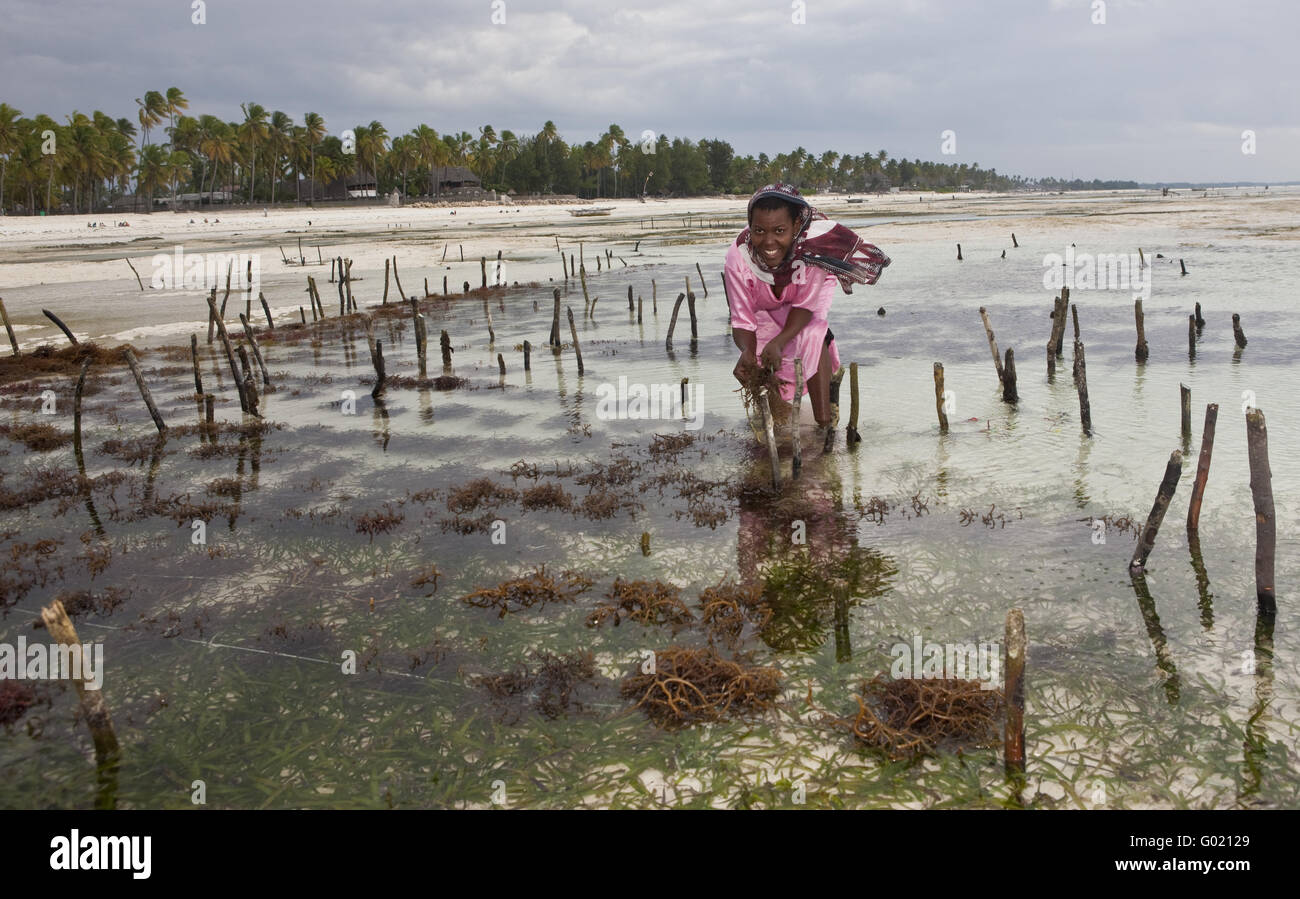 A woman in a colorful dress of a seaweed harvesting seaweed for Angelets field in a lagoon - Stock Image