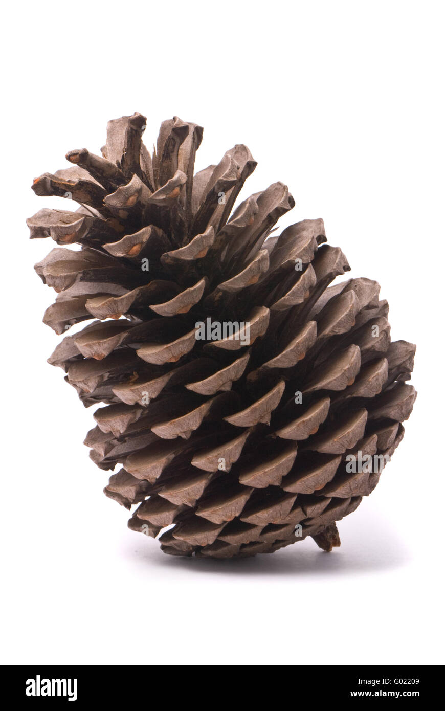 Front view of a pine cone isolated on studio white background - Stock Image