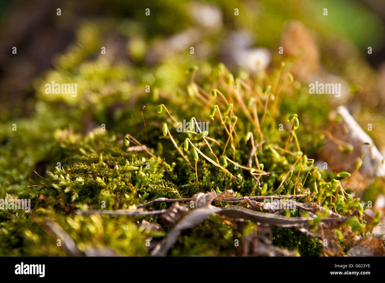 The young green moss in their natural habitat - Stock Image