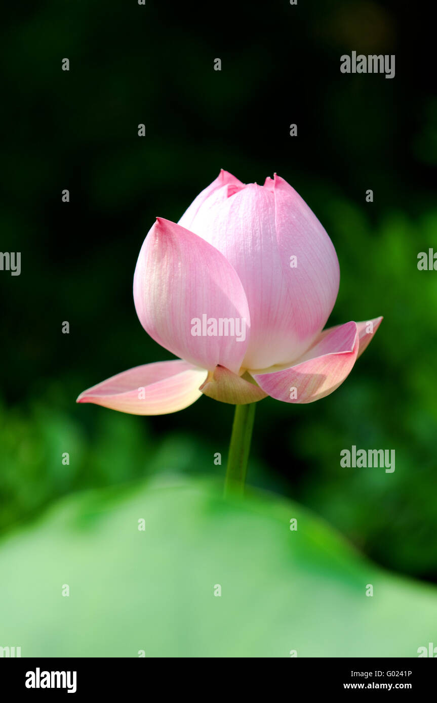 Close up of blooming lotus flower over leaves - Stock Image