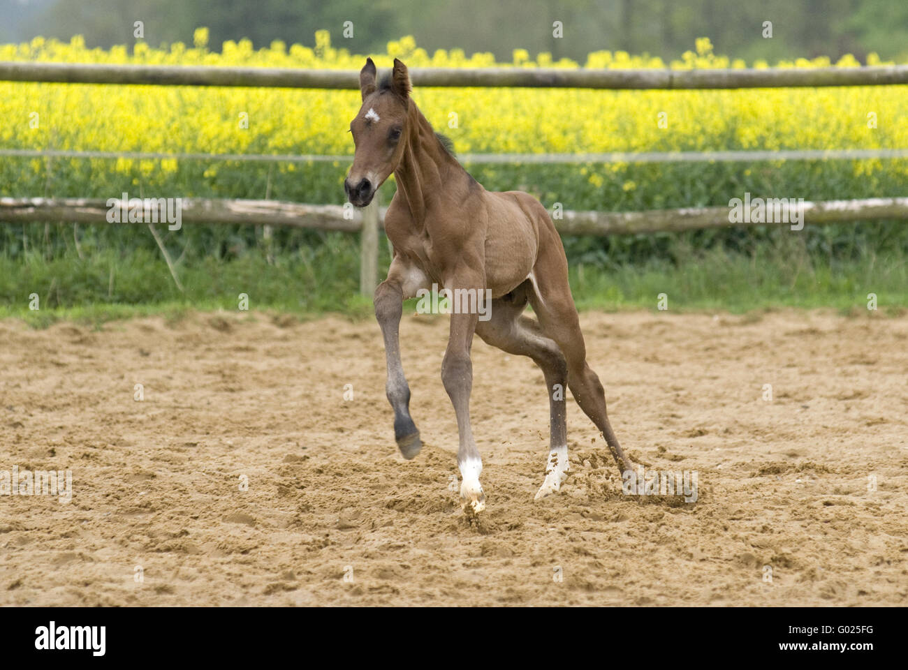 foal, young stallion - Stock Image